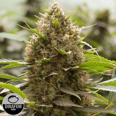 Haze Strains | Buy Cannabis Seeds | The CHOICE
