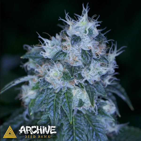 Archive Seeds HazMat OG