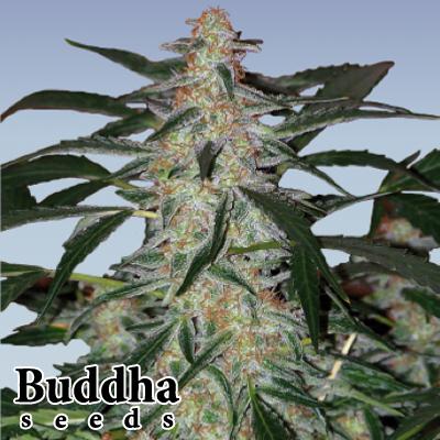 buddha seeds deimos autoflowering feminized