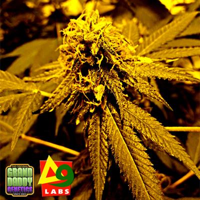 Конопля delta 9 купить семя марихуаны украина