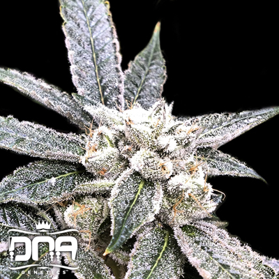 24k gold dna genetics