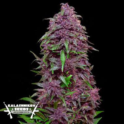 purple marijuana bud 28 - photo #44