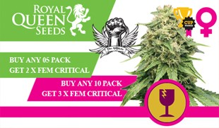 Royal Queen Critical Promotion