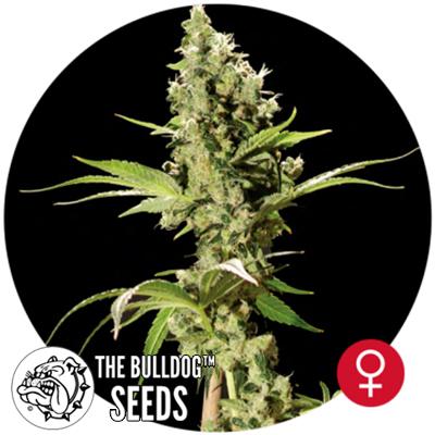 bulldog seeds sour diesel