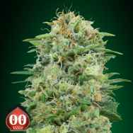 00 Seeds White Widow CBD