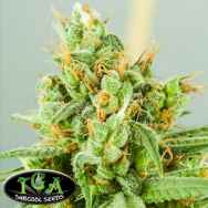 TGA Subcool Seeds Strawberry Daiquiri