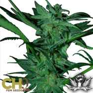 CH9 Seeds White Shark 33