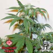 Illuminati Seeds 4 Horseman Haze