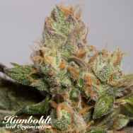 Humboldt Seed Organization 707 Truthband by Emerald Mountain