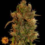 Barneys Farm Seeds 8 Ball Kush
