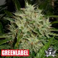 Green Label Seeds AK Widow 47