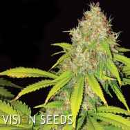 Vision Seeds AK-49 Auto