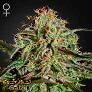Green House Seeds AMS