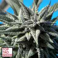 Top Tao Seeds Auto Tao Blueberry
