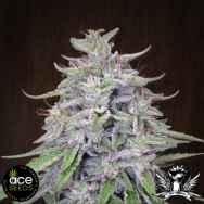 ACE Seeds Bangi Haze