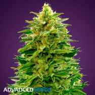 Advanced Seeds AUTO Amnesia