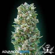 Advanced Seeds Auto Heavy Bud
