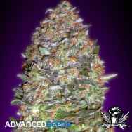 Advanced Seeds Auto NYCD