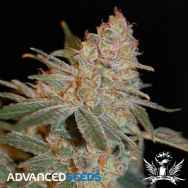 Advanced Seeds Black Diesel
