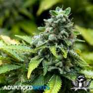 Advanced Seeds Early Widow