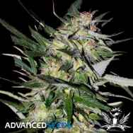 Advanced Seeds Jack Plant