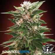 Advanced Seeds Kaya 47