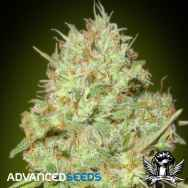 Advanced Seeds Shark Widow