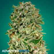 Advanced Seeds Shark Widow CBD