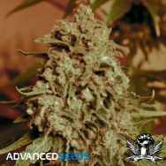 Advanced Seeds Somango Widow