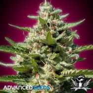 Advanced Seeds White Kush