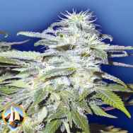Flying Dutchmen Seeds Afghanica