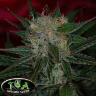 TGA Subcool Seeds Agent Orange