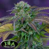 TGA Subcool Seeds Alchemy