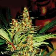 Super Strains Seeds Amajikoym