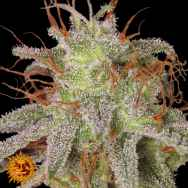 Barneys Farm Seeds Amnesia Lemon