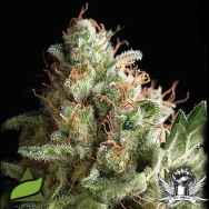 Pyramid Seeds American Pie