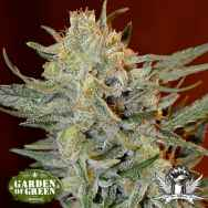 Garden of Green Seeds Amnesia Lemon Kush