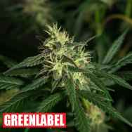 Green Label Seeds Amnesia