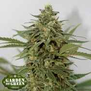 Garden of Green Seeds Amnesia Lemon Pie