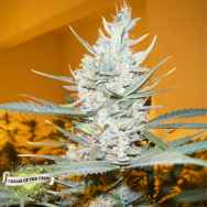 Cream of the Crop Seeds Amphetamine Auto