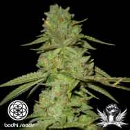 Bodhi Seeds Ancient OG