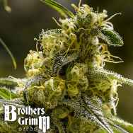 Brothers Grimm Seeds Apollo 13