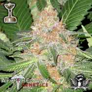 Apothecary Genetics Seeds Cookies OG