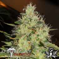 Apothecary Genetics Seeds Lemon Mango OG
