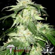 Apothecary Genetics Seeds Regulator OG