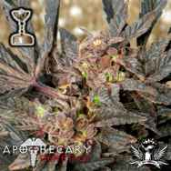 Apothecary Genetics Seeds Sour Grapes