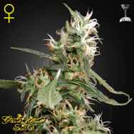 Green House Seeds Arjans Ultra Haze #1