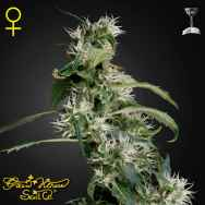 Green House Seeds Arjans Ultra Haze #2