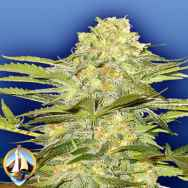 Flying Dutchmen Seeds Arctic Sun