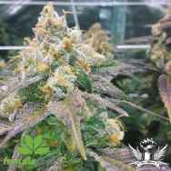 Female Seeds Dream Berry